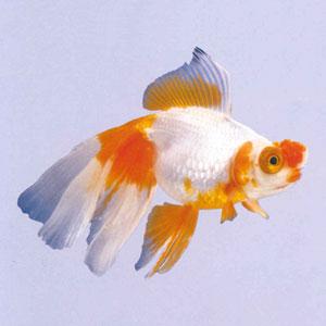 金鱼大观园 - 卓卓 - .
